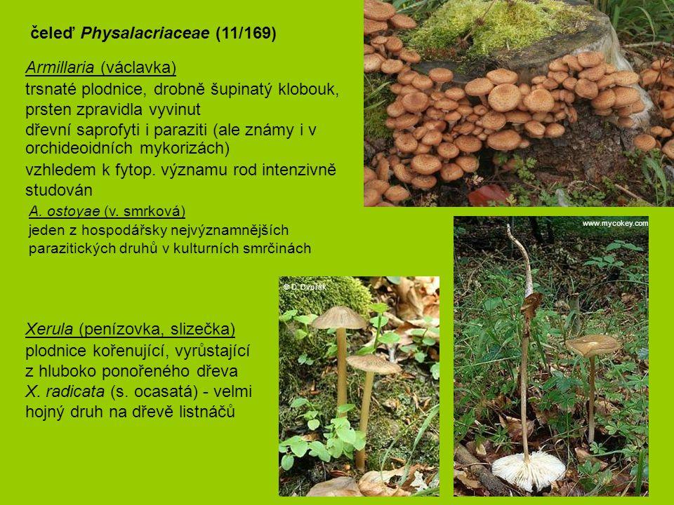 Armillaria (václavka) trsnaté plodnice, drobně šupinatý klobouk, prsten zpravidla vyvinut dřevní saprofyti i paraziti (ale známy i v orchideoidních m