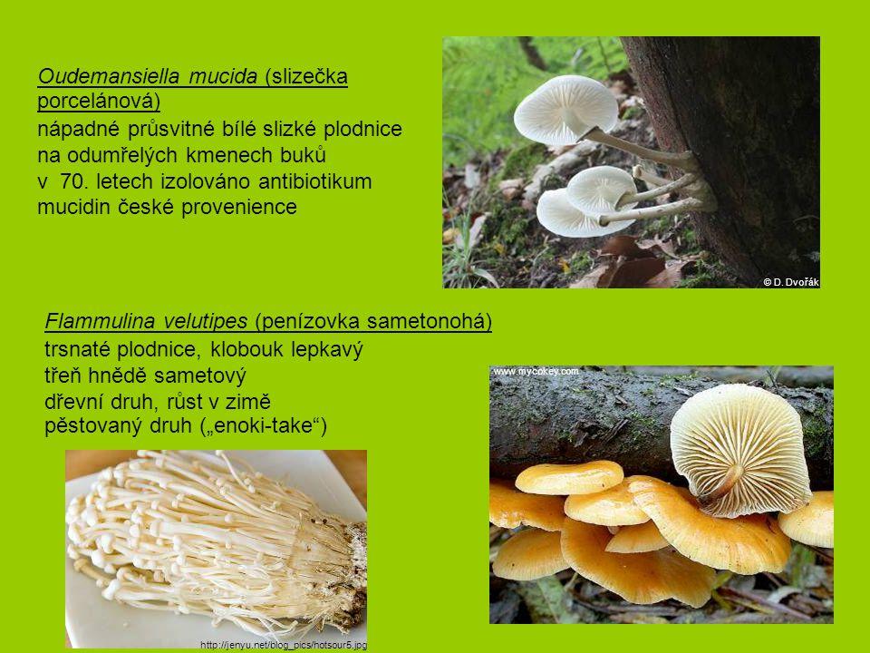 """Flammulina velutipes (penízovka sametonohá) trsnaté plodnice, klobouk lepkavý třeň hnědě sametový dřevní druh, růst v zimě pěstovaný druh (""""enoki-tak"""