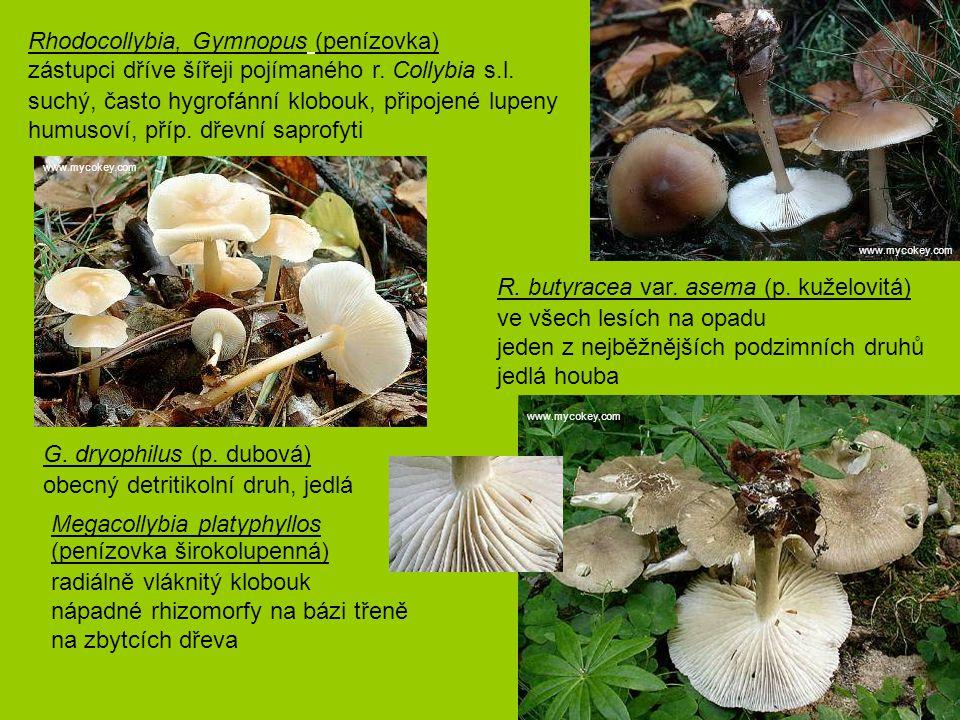 Rhodocollybia, Gymnopus (penízovka) zástupci dříve šířeji pojímaného r. Collybia s.l. suchý, často hygrofánní klobouk, připojené lupeny humusoví, př