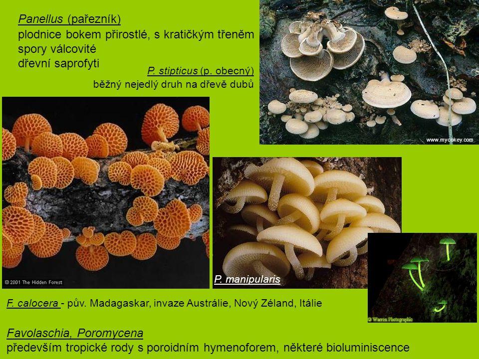 Panellus (pařezník) plodnice bokem přirostlé, s kratičkým třeněm spory válcovité dřevní saprofyti P. stipticus (p. obecný) běžný nejedlý druh na dře