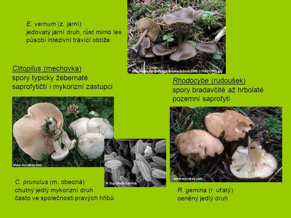 C. prunulus (m. obecná) chutný jedlý mykorizní druh často ve společnosti pravých hřibů Clitopilus (mechovka) spory typicky žebernaté saprofytičtí i