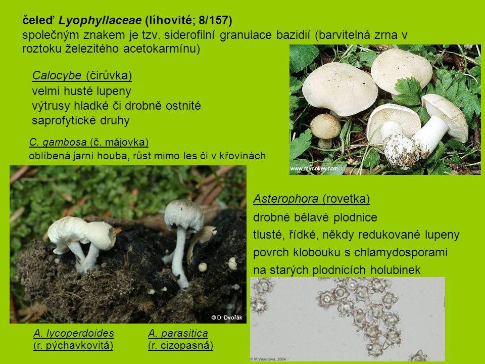 Calocybe (čirůvka) velmi husté lupeny výtrusy hladké či drobně ostnité saprofytické druhy C. gambosa (č. májovka) oblíbená jarní houba, růst mimo le