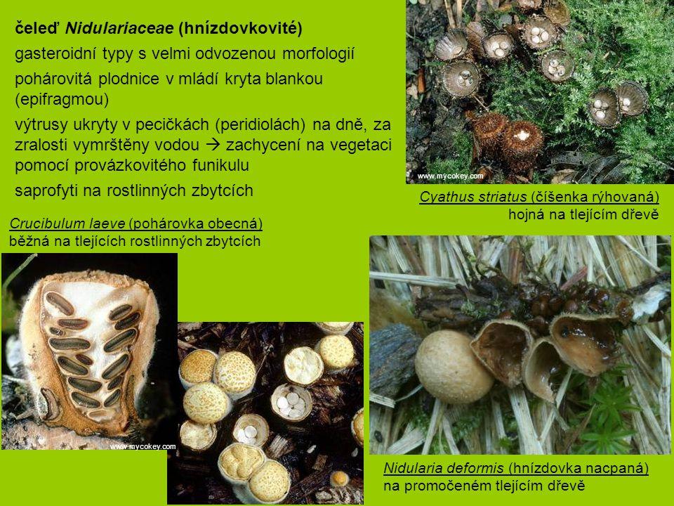 Crucibulum laeve (pohárovka obecná) běžná na tlejících rostlinných zbytcích Cyathus striatus (číšenka rýhovaná) hojná na tlejícím dřevě čeleď Nidulari