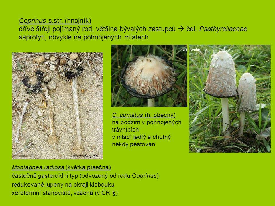 C. comatus (h. obecný) na podzim v pohnojených trávnících v mládí jedlý a chutný někdy pěstován Coprinus s.str. (hnojník) dřívě šířeji pojímaný rod, v