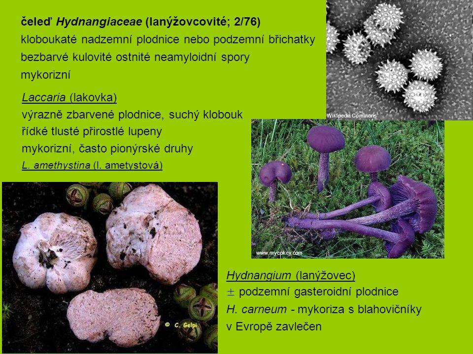 Laccaria (lakovka) výrazně zbarvené plodnice, suchý klobouk řídké tlusté přirostlé lupeny mykorizní, často pionýrské druhy L. amethystina (l. ametysto