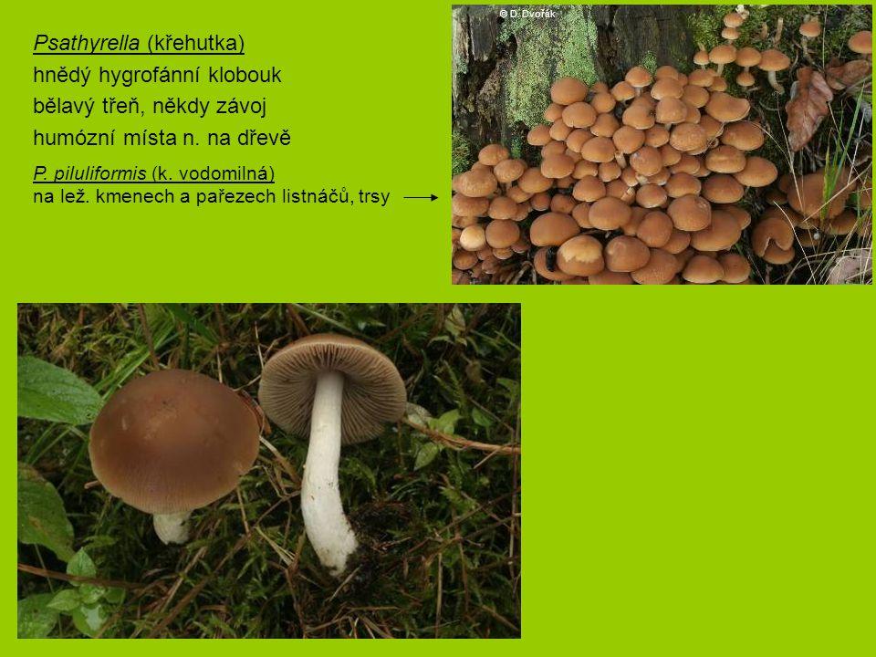 P. piluliformis (k. vodomilná) na lež. kmenech a pařezech listnáčů, trsy Psathyrella (křehutka) hnědý hygrofánní klobouk bělavý třeň, někdy závoj humó