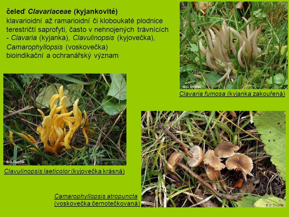 čeleď Clavariaceae (kyjankovité) klavarioidní až ramarioidní či kloboukaté plodnice terestričtí saprofyti, často v nehnojených trávnících - Clavaria