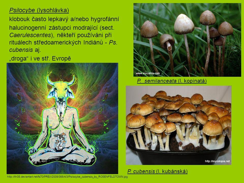 Psilocybe (lysohlávka) klobouk často lepkavý a/nebo hygrofánní halucinogenní zástupci modrající (sect. Caerulescentes), někteří používáni při rituálec