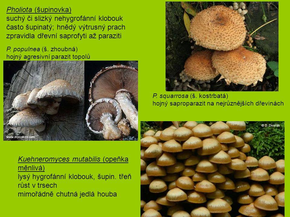 Kuehneromyces mutabilis (opeňka měnlivá) lysý hygrofánní klobouk, šupin. třeň růst v trsech mimořádně chutná jedlá houba P. squarrosa (š. kostrbatá) h