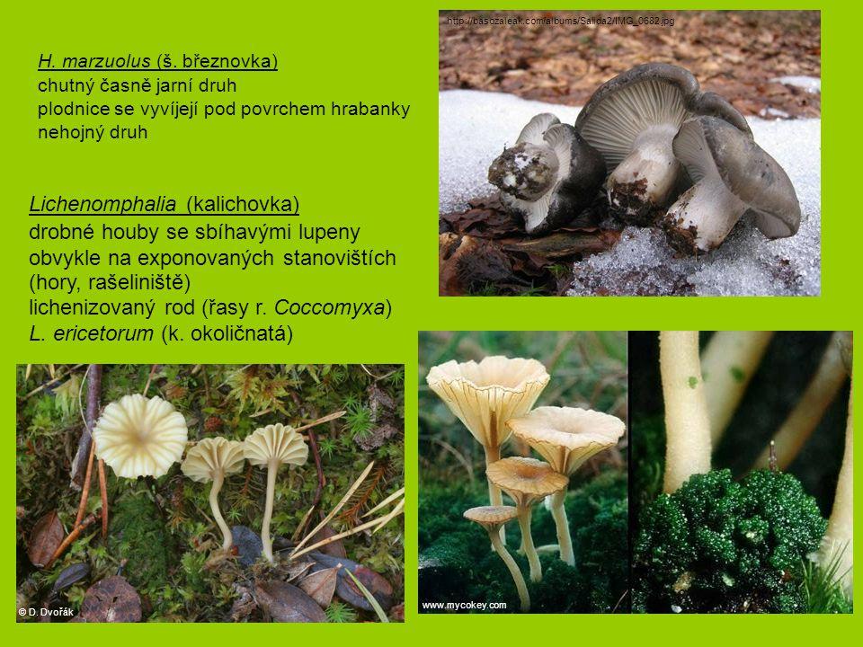 Hypholoma (třepenitka) růst často v trsech, chrysocystidy H.