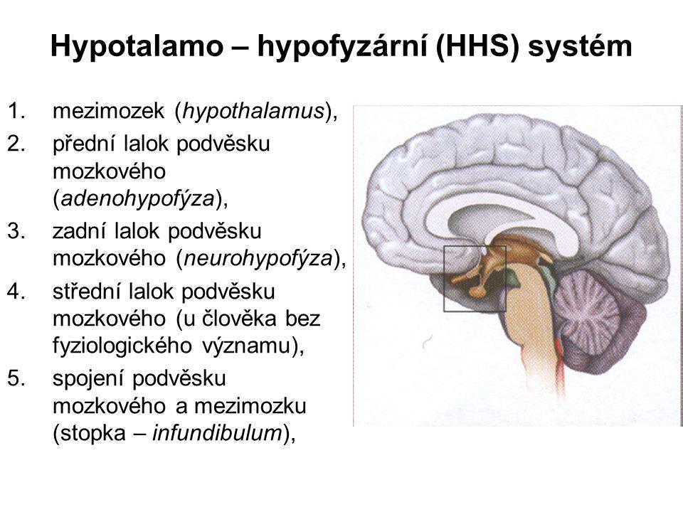 Hypotalamo – hypofyzární (HHS) systém 1.mezimozek (hypothalamus), 2.přední lalok podvěsku mozkového (adenohypofýza), 3.zadní lalok podvěsku mozkového (neurohypofýza), 4.střední lalok podvěsku mozkového (u člověka bez fyziologického významu), 5.spojení podvěsku mozkového a mezimozku (stopka – infundibulum),