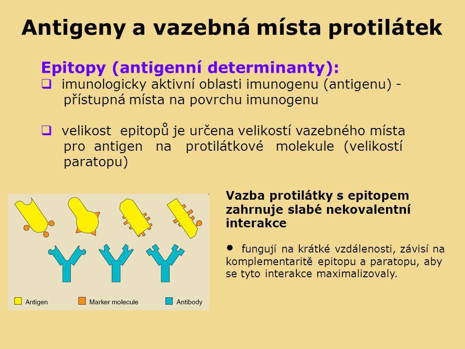 Epitopy (antigenní determinanty):  imunologicky aktivní oblasti imunogenu (antigenu) - přístupná místa na povrchu imunogenu  velikost epitopů je určena velikostí vazebného místa pro antigen na protilátkové molekule (velikostí paratopu) Vazba protilátky s epitopem zahrnuje slabé nekovalentní interakce fungují na krátké vzdálenosti, závisí na komplementaritě epitopu a paratopu, aby se tyto interakce maximalizovaly.