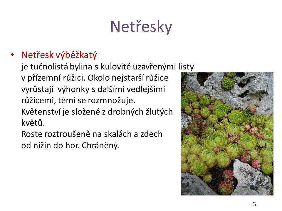 Netřesky Netřesk výběžkatý je tučnolistá bylina s kulovitě uzavřenými listy v přízemní růžici. Okolo nejstarší růžice vyrůstají výhonky s dalšími vedl