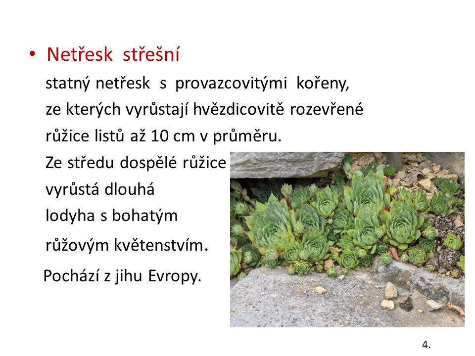 Další druhy netřesků Netřesk chlupatý přízemní růžice listů je hvězdovitě rozevřená, lodyhy hustě listnaté, květenství ze 3 – 5 vijanů se žlutými kvítky Netřesk horský listy v růžicích jsou k sobě skloněné, květenství jsou chudá s červenými kvítky 5.