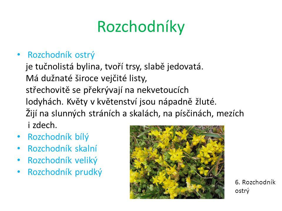 Rozchodníky Rozchodník ostrý je tučnolistá bylina, tvoří trsy, slabě jedovatá. Má dužnaté široce vejčité listy, střechovitě se překrývají na nekvetouc