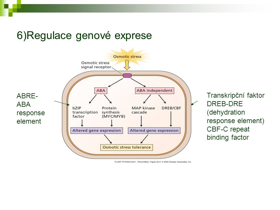 6)Regulace genové exprese Transkripční faktor DREB-DRE (dehydration response element) CBF-C repeat binding factor ABRE- ABA response element