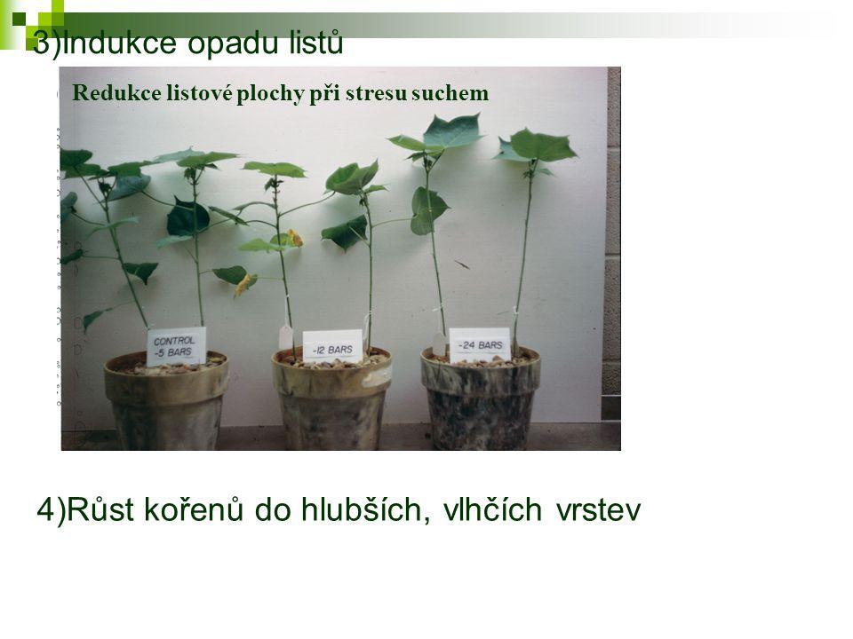 3)Indukce opadu listů Redukce listové plochy při stresu suchem 4)Růst kořenů do hlubších, vlhčích vrstev