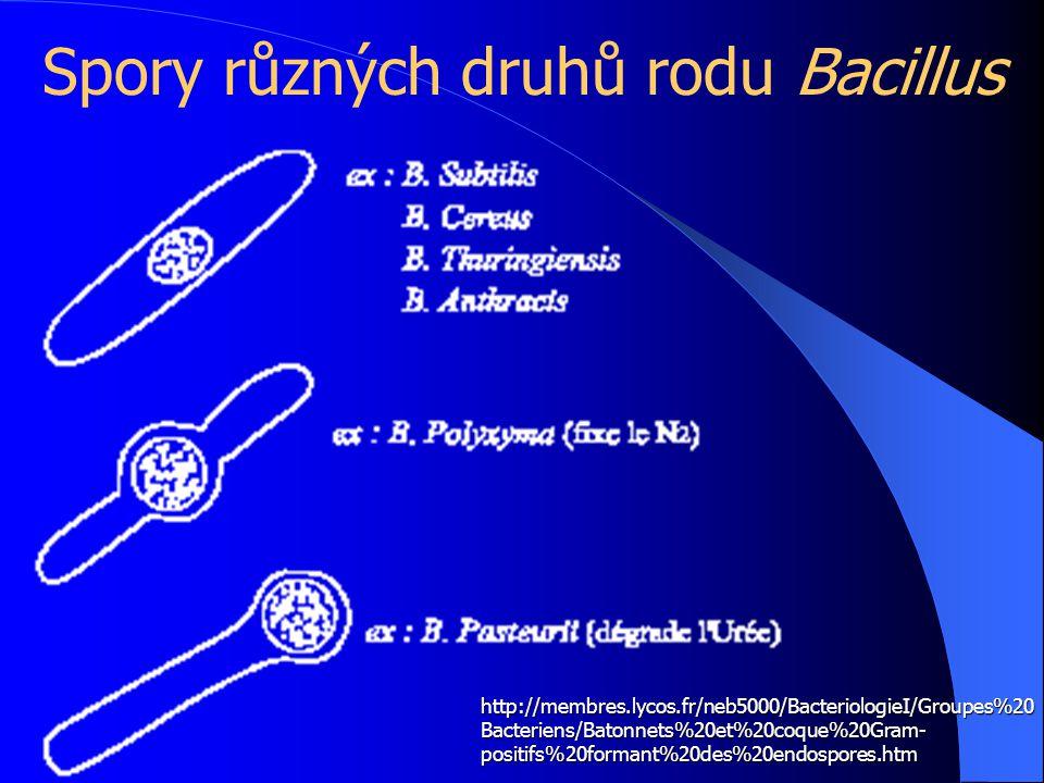 Spory různých druhů rodu Bacillus http://membres.lycos.fr/neb5000/BacteriologieI/Groupes%20 Bacteriens/Batonnets%20et%20coque%20Gram- positifs%20formant%20des%20endospores.htm