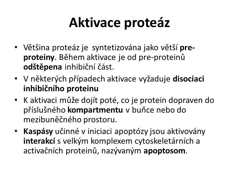 Aktivace proteáz Většina proteáz je syntetizována jako větší pre- proteiny. Během aktivace je od pre-proteinů odštěpena inhibiční část. V některých př