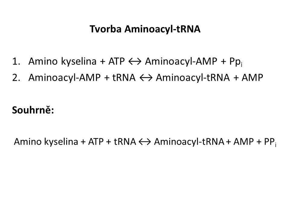 Tvorba Aminoacyl-tRNA 1.Amino kyselina + ATP ↔ Aminoacyl-AMP + Pp i 2.Aminoacyl-AMP + tRNA ↔ Aminoacyl-tRNA + AMP Souhrně: Amino kyselina + ATP + tRNA