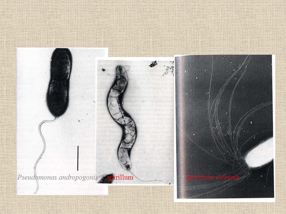 Pseudomonas andropogonis spirillum Spirillum volutans