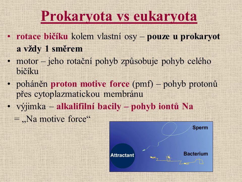 Prokaryota vs eukaryota rotace bičíku kolem vlastní osy – pouze u prokaryot a vždy 1 směrem motor – jeho rotační pohyb způsobuje pohyb celého bičíku p