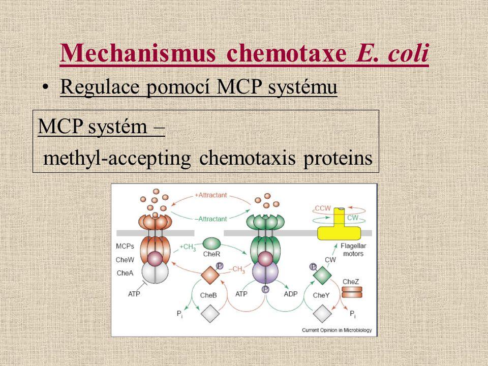 Mechanismus chemotaxe E. coli Regulace pomocí MCP systému MCP systém – methyl-accepting chemotaxis proteins