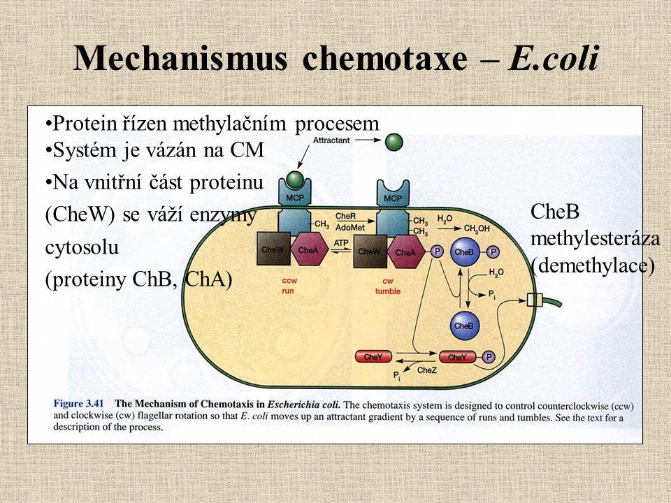 Mechanismus chemotaxe – E.coli Protein řízen methylačním procesem Systém je vázán na CM Na vnitřní část proteinu (CheW) se váží enzymy cytosolu (prote