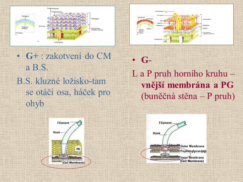 G+ : zakotvení do CM a B.S. B.S. kluzné ložisko-tam se otáčí osa, háček pro ohyb G- L a P pruh horního kruhu – vnější membrána a PG (buněčná stěna – P