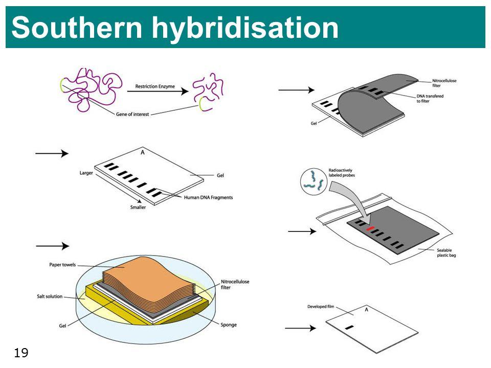 19 Southern hybridisation