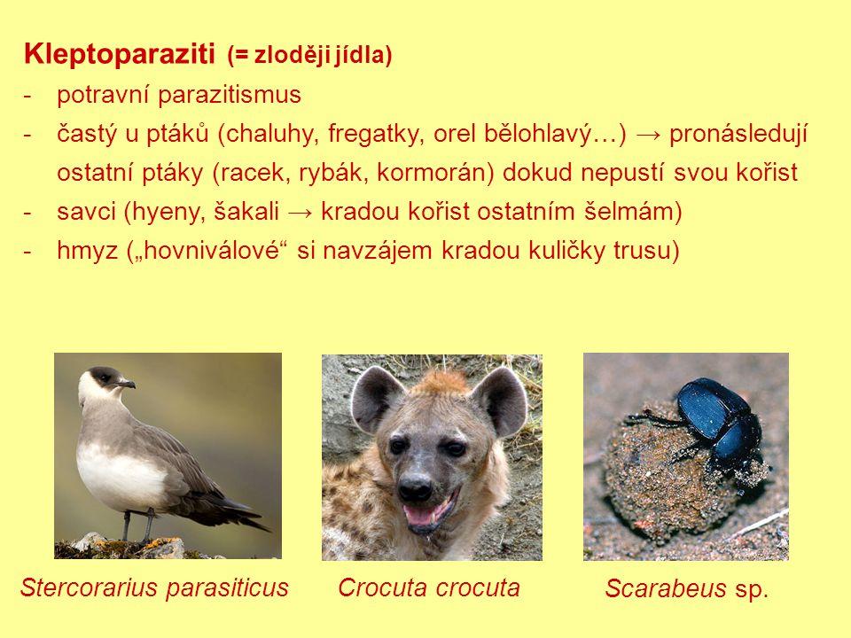 """Kleptoparaziti (= zloději jídla) -potravní parazitismus -častý u ptáků (chaluhy, fregatky, orel bělohlavý…) → pronásledují ostatní ptáky (racek, rybák, kormorán) dokud nepustí svou kořist -savci (hyeny, šakali → kradou kořist ostatním šelmám) -hmyz (""""hovniválové si navzájem kradou kuličky trusu) Stercorarius parasiticus Crocuta crocuta Scarabeus sp."""