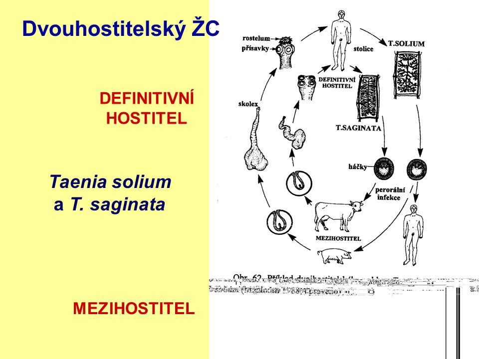 Taenia solium a T. saginata DEFINITIVNÍ HOSTITEL MEZIHOSTITEL Dvouhostitelský ŽC