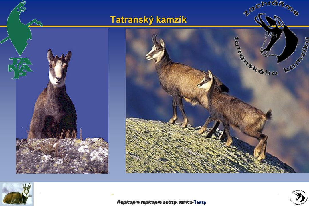 - Rupicapra rupicapra subsp. tatrica -Tanap Tatranský kamzík