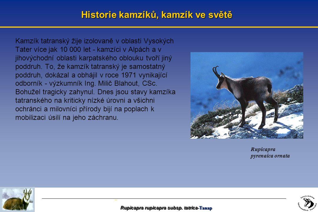 - Historie kamzíků, kamzík ve světě Kamzík tatranský žije izolovaně v oblasti Vysokých Tater více jak 10 000 let - kamzíci v Alpách a v jihovýchodní oblasti karpatského oblouku tvoří jiný poddruh.