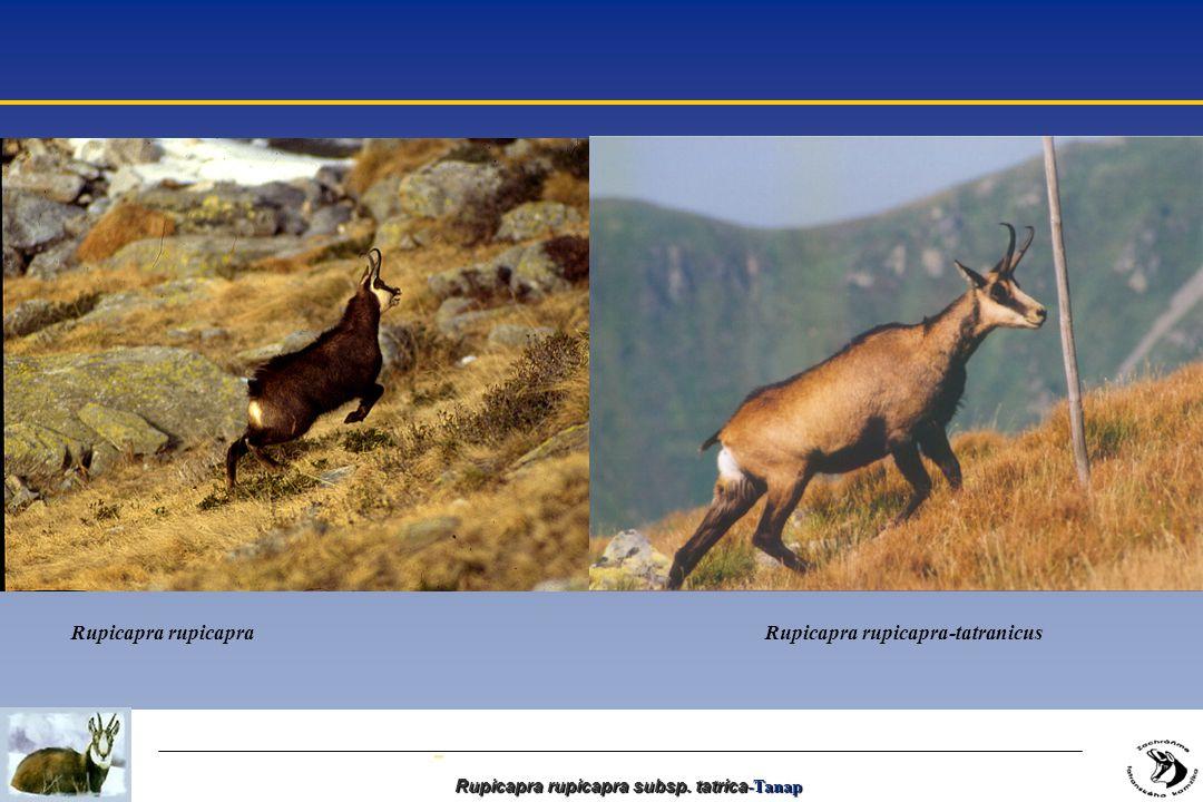 - Rupicapra rupicapra subsp. tatrica -Tanap Rupicapra rupicapra Rupicapra rupicapra-tatranicus