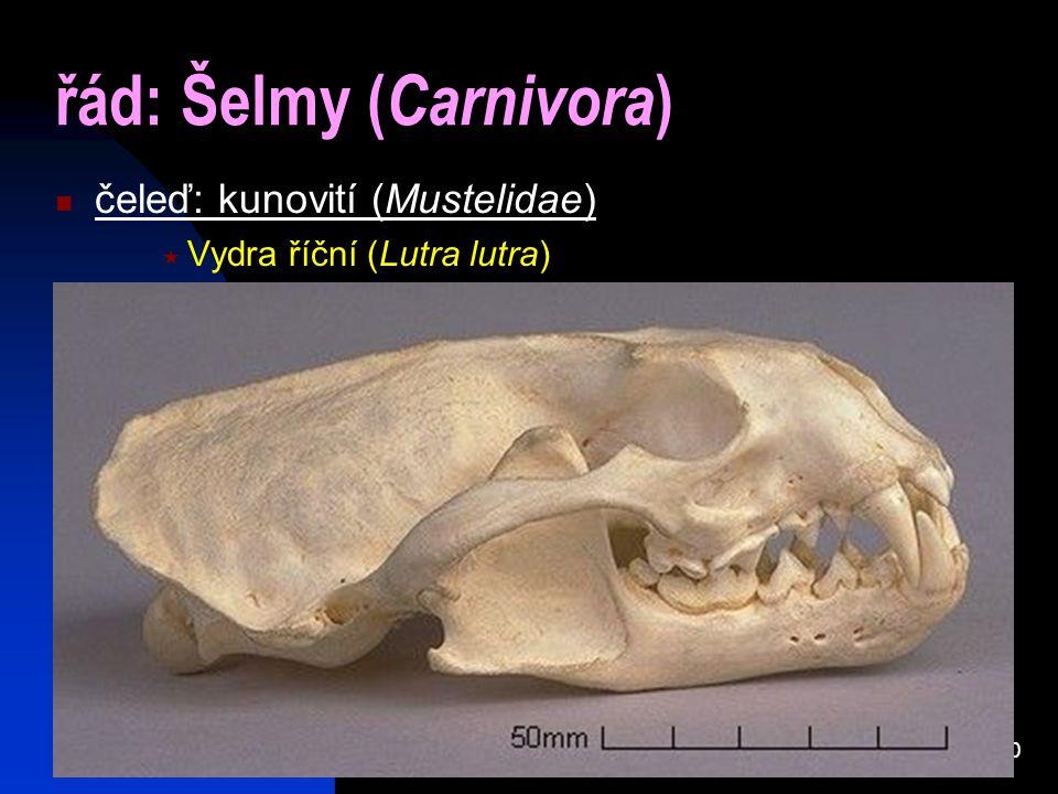10 řád: Šelmy ( Carnivora ) čeleď: kunovití (Mustelidae)  Vydra říční (Lutra lutra)