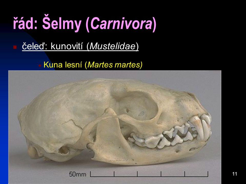11 řád: Šelmy ( Carnivora ) čeleď: kunovití (Mustelidae)  Kuna lesní (Martes martes)