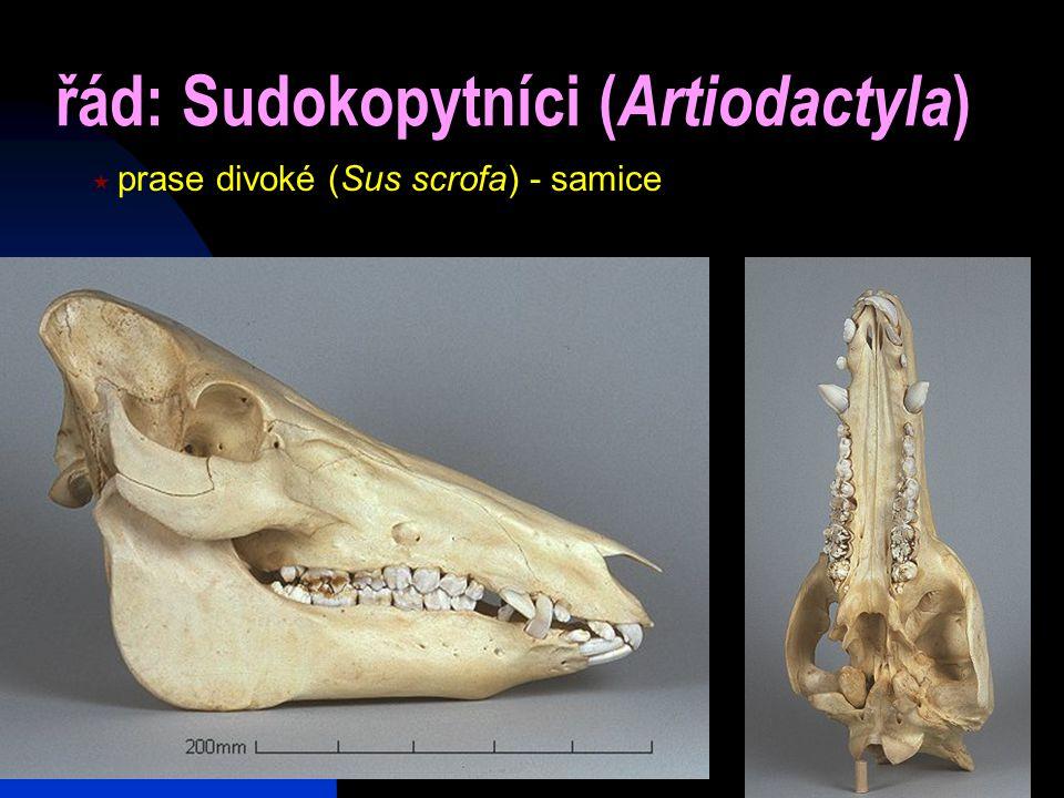 24 řád: Sudokopytníci ( Artiodactyla )  prase divoké (Sus scrofa) - samice