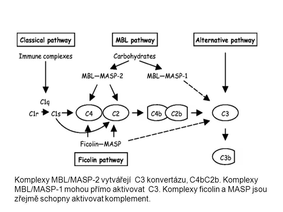 Komplexy MBL/MASP-2 vytvářejí C3 konvertázu, C4bC2b. Komplexy MBL/MASP-1 mohou přímo aktivovat C3. Komplexy ficolin a MASP jsou zřejmě schopny aktivov