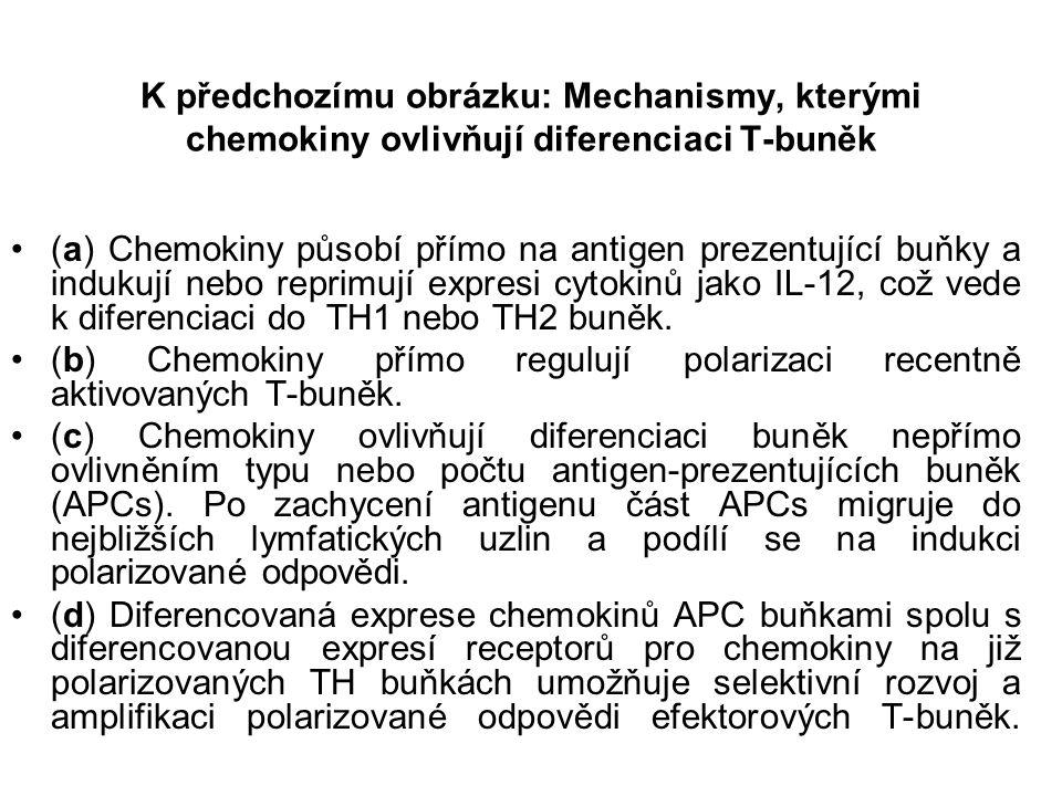 K předchozímu obrázku: Mechanismy, kterými chemokiny ovlivňují diferenciaci T-buněk (a) Chemokiny působí přímo na antigen prezentující buňky a indukují nebo reprimují expresi cytokinů jako IL-12, což vede k diferenciaci do TH1 nebo TH2 buněk.