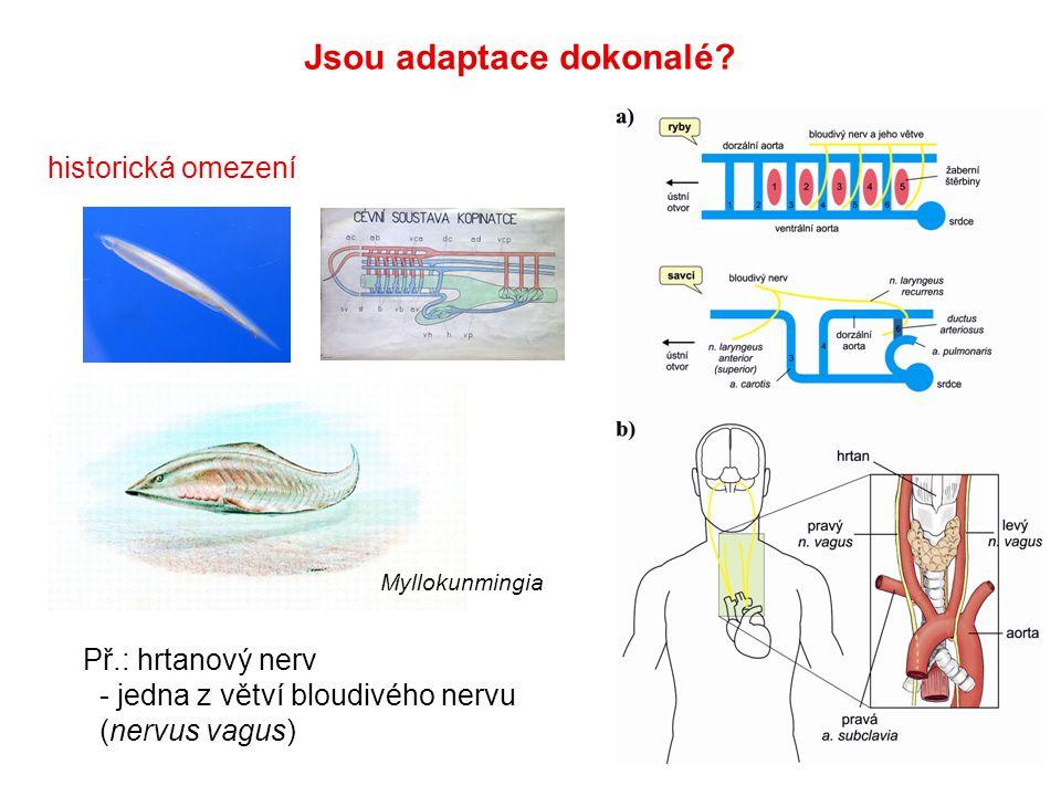 historická omezení Jsou adaptace dokonalé? Př.: hrtanový nerv - jedna z větví bloudivého nervu (nervus vagus) Myllokunmingia