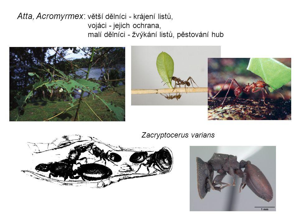 Zacryptocerus varians Atta, Acromyrmex: větší dělníci - krájení listů, vojáci - jejich ochrana, malí dělníci - žvýkání listů, pěstování hub