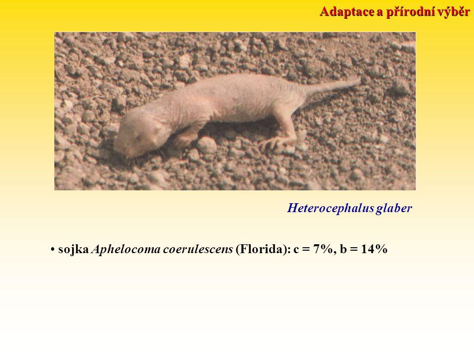 Adaptace a přírodní výběr Heterocephalus glaber sojka Aphelocoma coerulescens (Florida): c = 7%, b = 14%