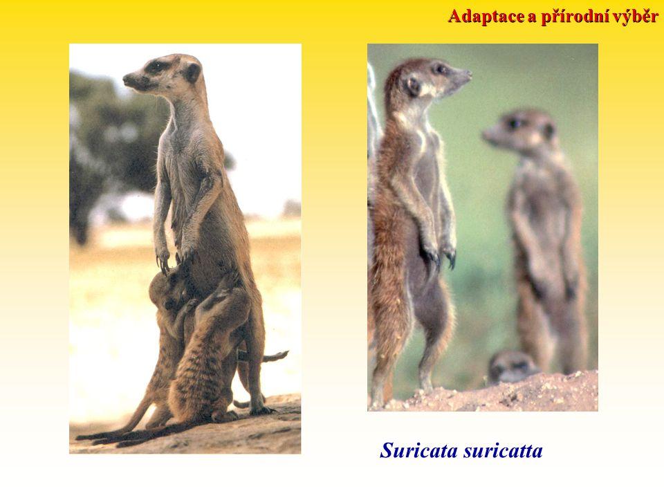 Adaptace a přírodní výběr Suricata suricatta
