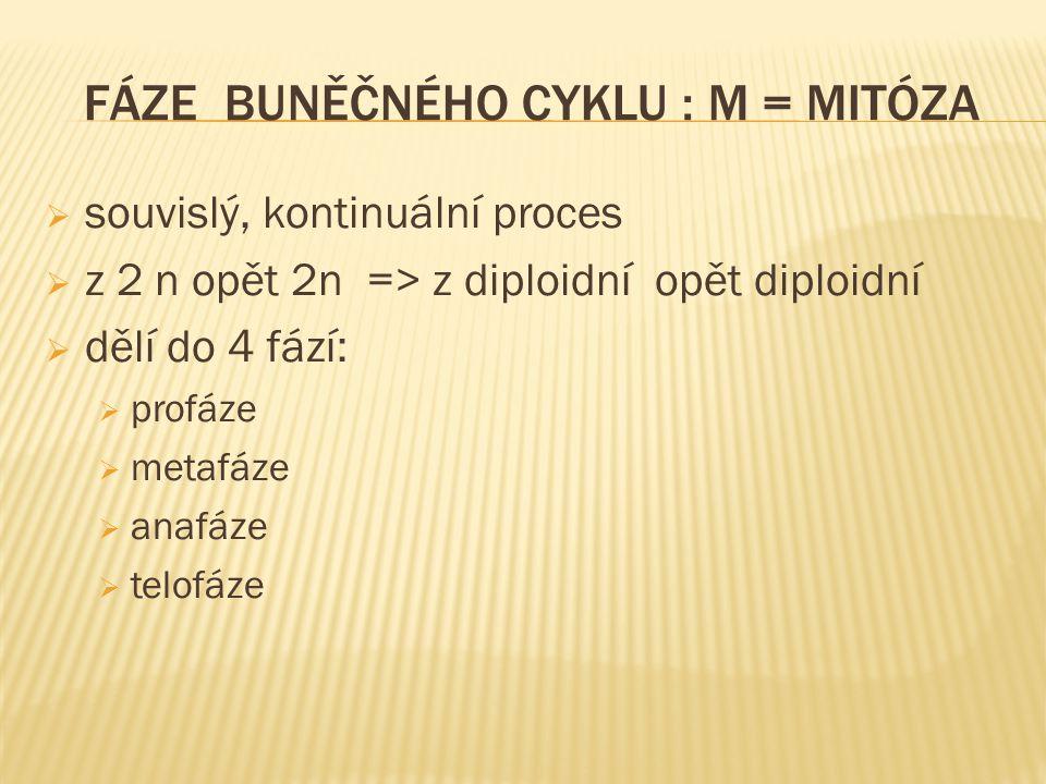 FÁZE BUNĚČNÉHO CYKLU : M = MITÓZA  souvislý, kontinuální proces  z 2 n opět 2n => z diploidní opět diploidní  dělí do 4 fází:  profáze  metafáze  anafáze  telofáze