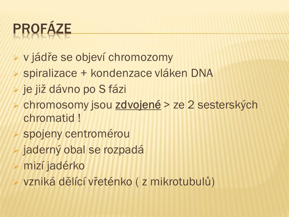  v jádře se objeví chromozomy  spiralizace + kondenzace vláken DNA  je již dávno po S fázi  chromosomy jsou zdvojené > ze 2 sesterských chromatid