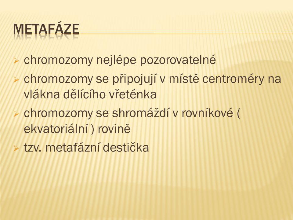  chromozomy nejlépe pozorovatelné  chromozomy se připojují v místě centroméry na vlákna dělícího vřeténka  chromozomy se shromáždí v rovníkové ( ekvatoriální ) rovině  tzv.