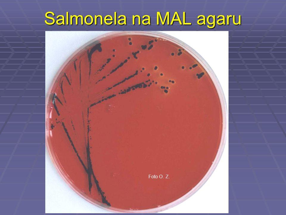 Salmonela na MAL agaru Foto O. Z.