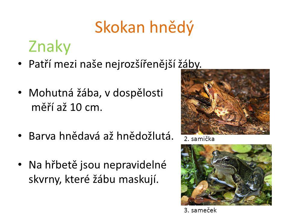 Skokan hnědý Znaky Patří mezi naše nejrozšířenější žáby. Mohutná žába, v dospělosti měří až 10 cm. Barva hnědavá až hnědožlutá. Na hřbetě jsou nepravi