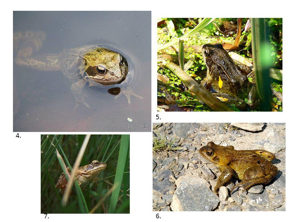 Rozmnožování Přes zimu v tělech samic a samců dozrávají pohlavní buňky.